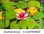 pink water lily close up. water ... | Shutterstock . vector #1146949883