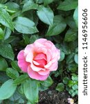 Stock photo rose garden in portland 1146956606