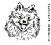 vector image of a pomeranian dog | Shutterstock .eps vector #1146996956