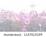 cosmos flower pastel color... | Shutterstock . vector #1147015199
