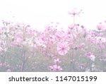 cosmos flower pastel color... | Shutterstock . vector #1147015199