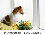 cute dog is siting on the...   Shutterstock . vector #1147033253