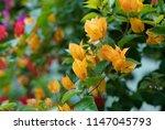 bougainvillea flower in garden  ...   Shutterstock . vector #1147045793