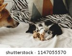 Stock photo cute kitty and golden dog playing on bed with pillows in stylish room adorable black and white 1147055570