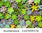 group colorful of succulent in... | Shutterstock . vector #1147059176