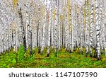 Birch Tree Forest In Autumn...