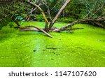 Swamp Duckweed Green Water Tre...