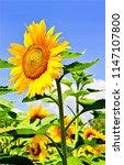 sunflower on sunflower field.... | Shutterstock . vector #1147107800