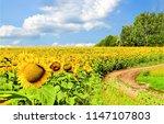 sunflower field road landscape. ... | Shutterstock . vector #1147107803