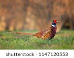 Pheasants Like To Take Pictures