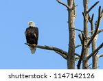 Bald Eagle Perched In A Stand...