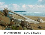 old tree on the seashore | Shutterstock . vector #1147156289