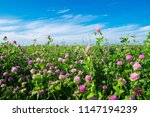 pink clover meadow and blue sky.... | Shutterstock . vector #1147194239
