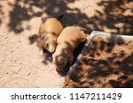 black tail prairie dogs nuzzling | Shutterstock . vector #1147211429