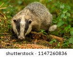badger  wild  native  european... | Shutterstock . vector #1147260836