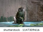 Allen\'s Swamp Monkey Laughing...