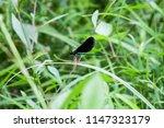 a male ebony jewelwing... | Shutterstock . vector #1147323179