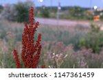 a curly dock  rumex crispus ... | Shutterstock . vector #1147361459