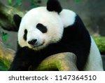 a giant panda bear takes a nap... | Shutterstock . vector #1147364510