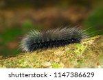 image of black caterpillar worm ... | Shutterstock . vector #1147386629