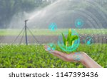 growing young maize seedling on ... | Shutterstock . vector #1147393436