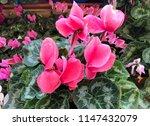 winter flowers  pink cyclamen...   Shutterstock . vector #1147432079
