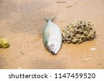 dead fish on the beach. sea... | Shutterstock . vector #1147459520