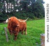 highland cow in scotland | Shutterstock . vector #1147568150
