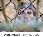 Eyes Of A Monkey Behind Bars ...