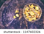 mushrooms chanterelle in the... | Shutterstock . vector #1147602326