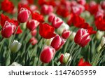 beautiful red roses  | Shutterstock . vector #1147605959