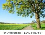 maple tree on meadow. spring... | Shutterstock . vector #1147640759