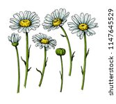 daisy flower drawing. vector... | Shutterstock .eps vector #1147645529
