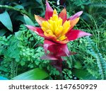 close up red bromeliad  ...   Shutterstock . vector #1147650929