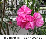 hibiscus syriacus pink | Shutterstock . vector #1147692416
