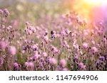 flowering  blooming thistle ... | Shutterstock . vector #1147694906