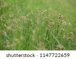 Small photo of Sea Clubrush, also called Cosmopolitan or Alkali Bulrush and Bayonet Grass a river side plant