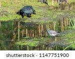 white wagtail or motacilla alba.... | Shutterstock . vector #1147751900