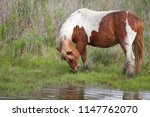 Wild Horses On The Chincoteague ...