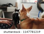 Stock photo cute kitty meeting with big golden dog in stylish room woman holding adorable black and white 1147781219