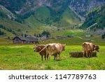 golden brown cows near watering ...   Shutterstock . vector #1147789763
