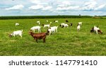 a herd of boer goats in a... | Shutterstock . vector #1147791410