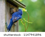 Hungry Baby Eastern Blue Bird...