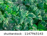 green grass with white edges... | Shutterstock . vector #1147965143