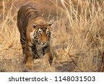 tigress t60 cub  ranthambore... | Shutterstock . vector #1148031503