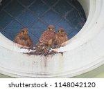 young common kestrel  falco... | Shutterstock . vector #1148042120