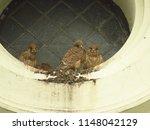 young common kestrel  falco... | Shutterstock . vector #1148042129