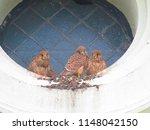 young common kestrel  falco... | Shutterstock . vector #1148042150