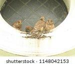 young common kestrel  falco... | Shutterstock . vector #1148042153