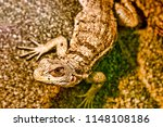 close up view of lizard  | Shutterstock . vector #1148108186